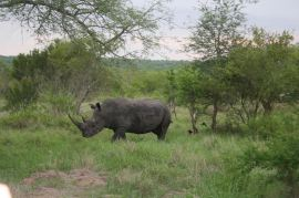 lone-rhino