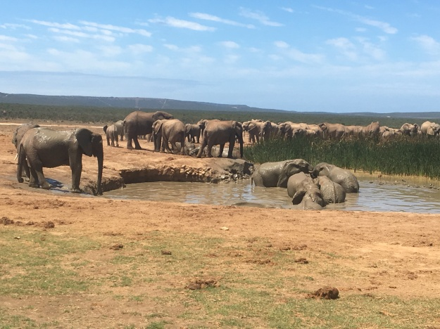 addo-elephants1